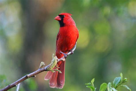 hd cardinal bird wallpapers hdwallsourcecom