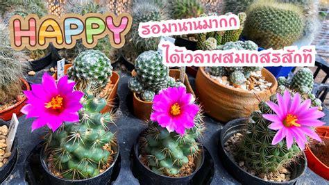 วิธีผสมเกสร แมมชูแมนนิอาย Mammillaria schumannii | แมมชูแมน - Hua Hin Sun Villa