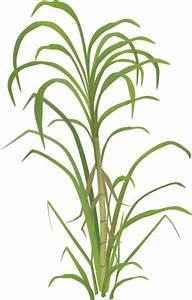 Sugar plant clipart - Clipground