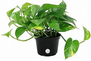 Costa, Farms, Golden, Pothos, Devil, U0026, 39, S, Ivy, Live, Indoor, Plant, 6-inch, -, Walmart, Com