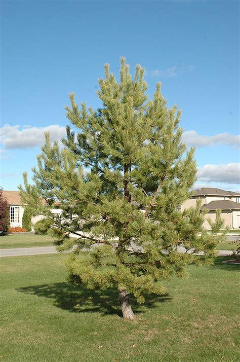 french blue scotch pine pinus sylvestris french blue