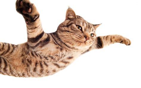 flying cat wallpaper gallery