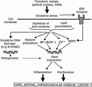 Simplified Diagram Of Hypothetical Oxidative Stress