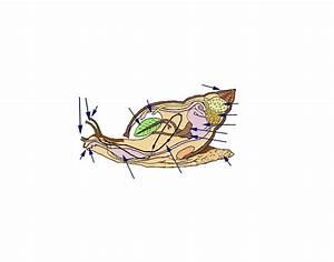 Snail Internal Diagram - Class Gastropoda