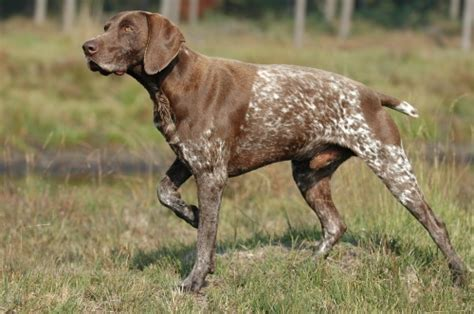 the dog in world information about hunting dogs