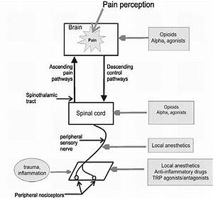 Pain Pathways As Drug Targets For Commonly Used Analgesic