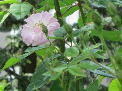 flowering perennials summer flower summer flowering perennials
