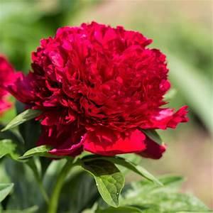 Peony Red Charm – Easy To Grow Bulbs  Red