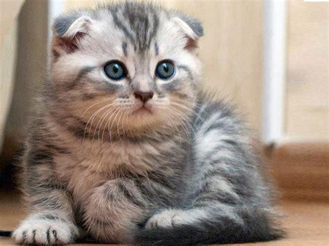 jenis kucing  mahal  dunia kucing gue