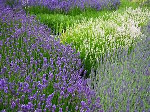 Lavendel Pflanzen Balkon : lavendel standort lavendel pflege lavendel schneiden ~ Lizthompson.info Haus und Dekorationen