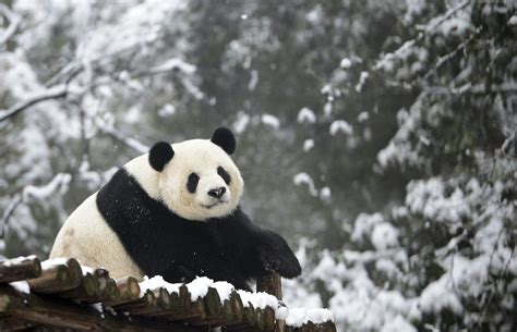 Human Noise May Get In The Way Of Panda Mating, Thanks To