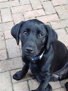14 week old Black Labrador PUPPY, full vaccination ...