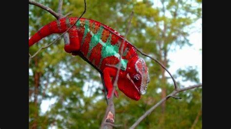chameleons changing colors chameleon changing color doovi