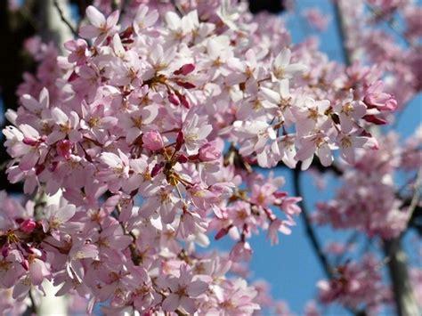 jual benih bibit biji bunga sakura japanese cherry