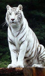 25 Best White Tiger Photographic | Animales albinos ...