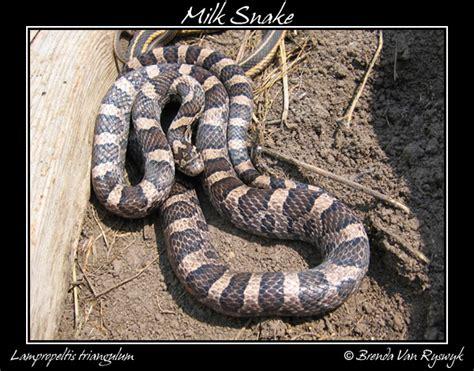 snakes baby milk snake