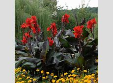 Bloomsz Black Knight Canna Roots 5Pack06223 The Home