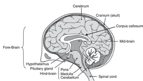 Label Brain Diagram by Draw A Neat Diagram Of Human Brain And Label On It The