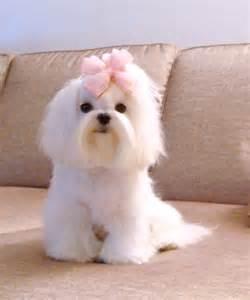 Cute Maltese Puppy Cut Dogs