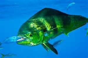Dolphin Fish Mahi Mahi