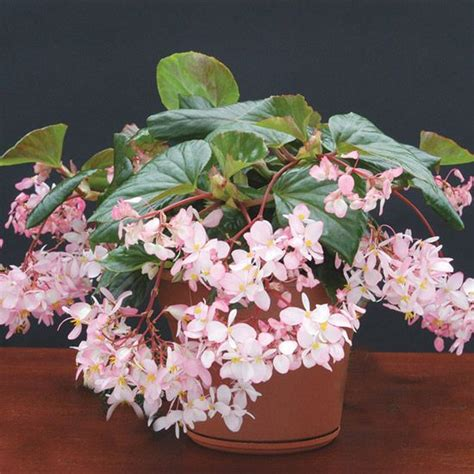 fragrant houseplants top fragrant houseplants tea roses teas and leaves