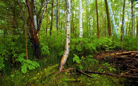birch forest birch forest on the bog wallpapers and images wallpapers pictures photos