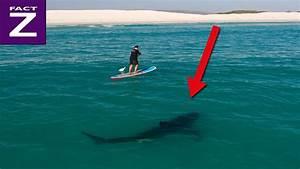 Wie gefährlich ist der Weiße Hai für den Menschen? HAI