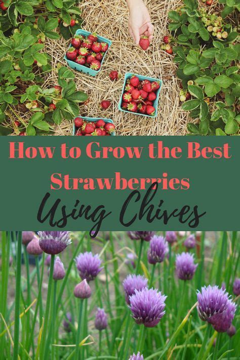 grow   strawberries  chives