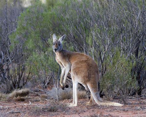 red kangaroo facts diet habitat pictures  animaliabio