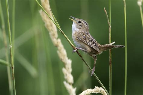 sedge wren song call voice sound