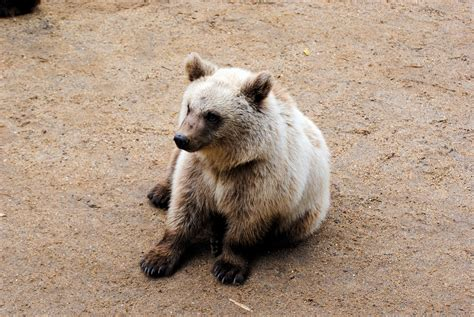 Brown Bear Baby By Kordouane Photography Animals