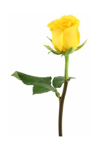 Rose Yellow Roses Flower Clipart Single Flowers