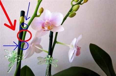 do orchids regrow flowers как обрезать орхидею после цветения не повредив цветок syl ru