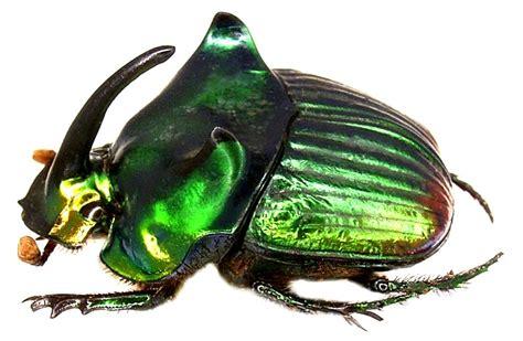 Phanaeus palaeno