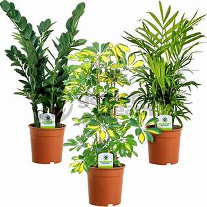 Indoor, Plant, Mix, -, 3, Plants, Office, Live, Potted, Pot, Plant, Tree, Mix, A