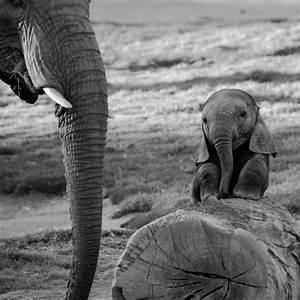 Elephants Black and White - wallpaper.