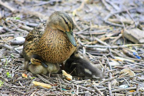 Caring For Abandoned Ducklings Practical Self Reliance