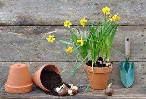 Tulpen Im Topf In Der Wohnung : narzissen im topf anpflanzen so gedeihen sie auch in der wohnung pr chtig ~ Buech-reservation.com Haus und Dekorationen