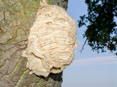 wie sieht ein wespennest aus hornissennest am grundst 252 ck so verh 228 lt sich richtig