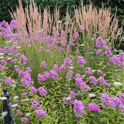 phlox jeana phlox paniculata plants select seeds