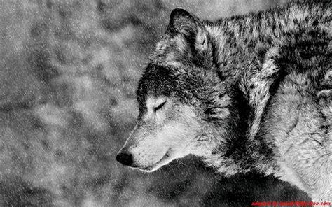 Wolf Desktop Wallpaper Hd by Black Wolf Wallpaper 64 Images