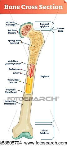 Bone cross section illustrations & vectors. Vector illustration scheme of bone cross section. Diagram with articular cartilage, marrow ...