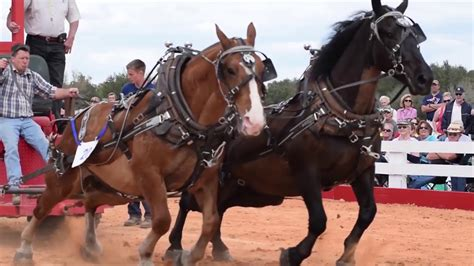 Dutch Draft Horse Stallion