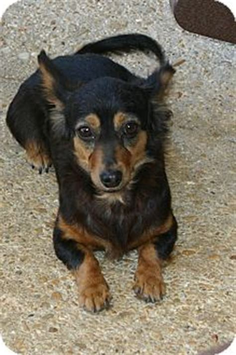 minnie adopted dog cantonment fl chihuahua