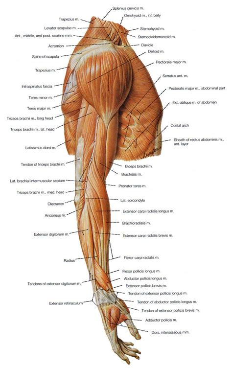 muscles   hand human anatomy reference arm