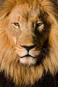 Close-up on a Lion's head (4 and a half years) - Panthera ...