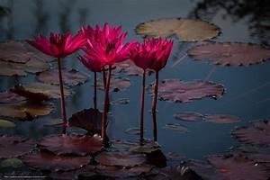 Download wallpaper Flowers, lotus, pond, Coastal Georgia