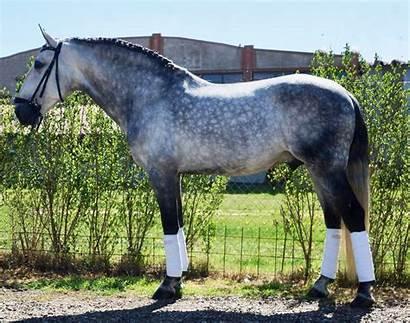 Lusitano Horses Horse Portugal Schoolmasters Copy