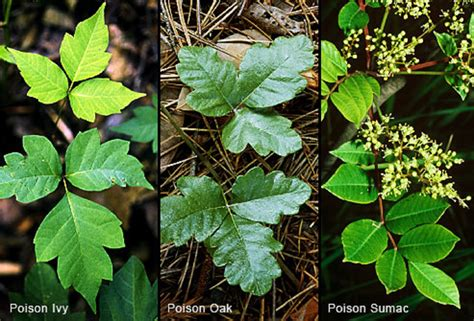 The Truths And Myths About Poison Ivy Poison Oak And