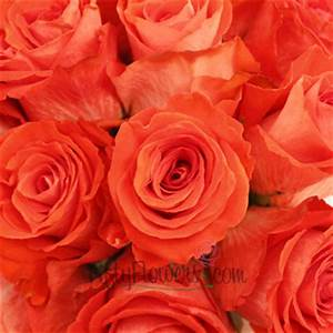 Cartagena Red Orange Rose